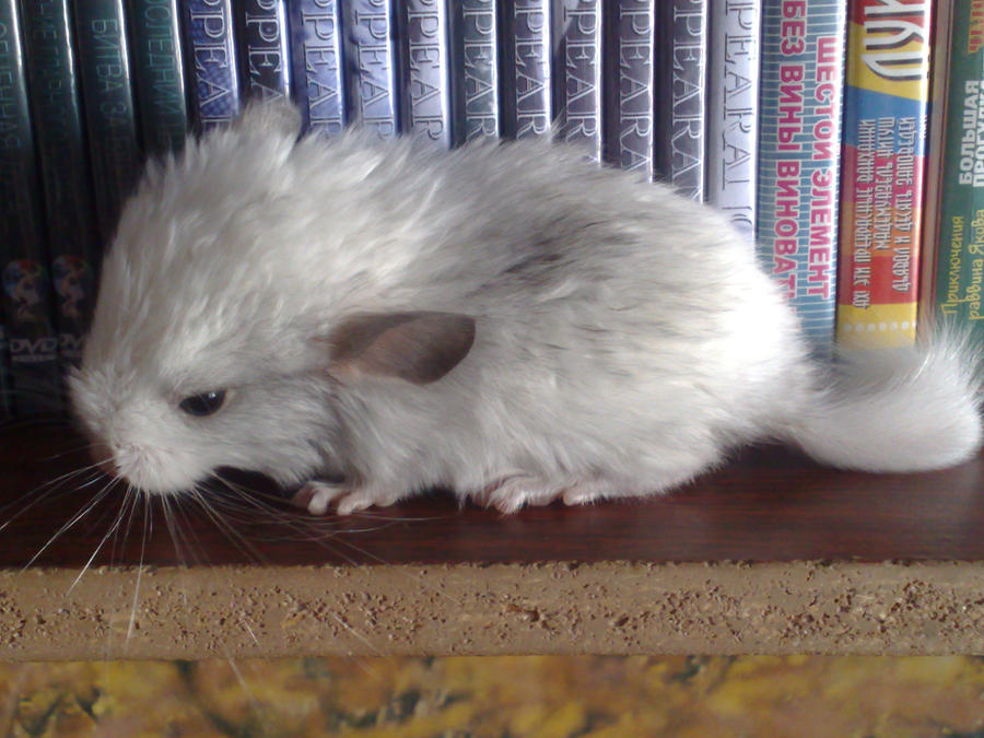 Baby chinchilla by PurpleScorpion187