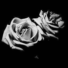 Roses by Blackrosenaruto