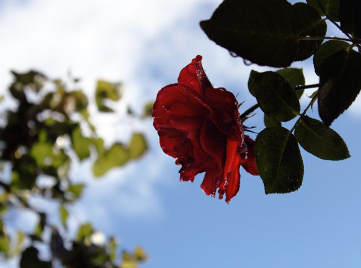 Rose fraicheur. by raiining-day