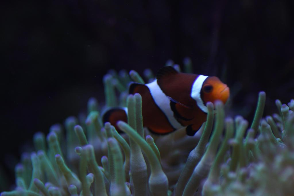 Clown Fish by spectacledfruitbat