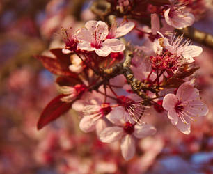 Pink Cherry Blossoms II by spectacledfruitbat