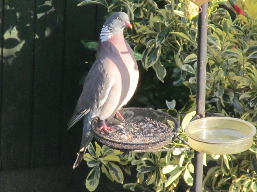 Tall Pigeon by Skargill