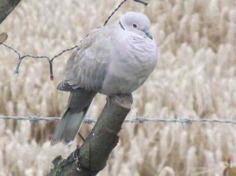 Winter Dove