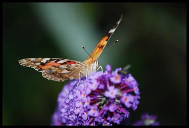 Butterfly 3 by Kelyen