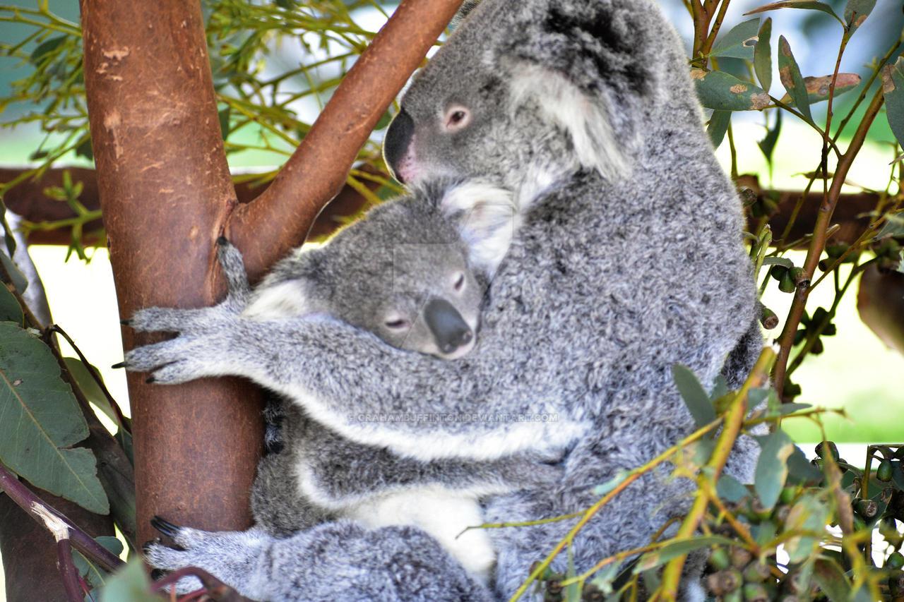 Koala and Baby by GrahamBuffinton