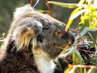 Koala having lunch by GrahamBuffinton