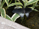 Black Butterfly On Foliage