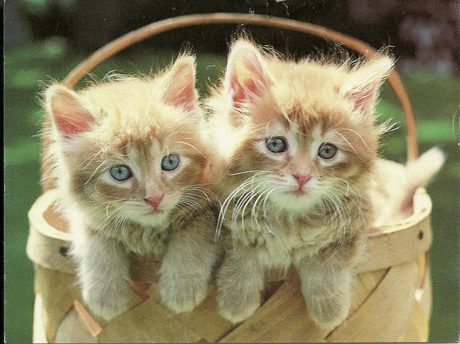 Image Gallery kittens in a basket