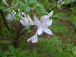 White Flower by SiverCat