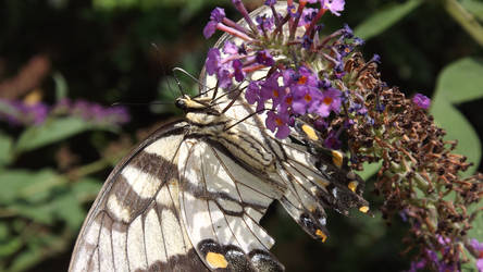 Butterfly on Butterfly Bush by Tiamimi