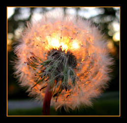 Glowing Dandelion by SilivrenTinu
