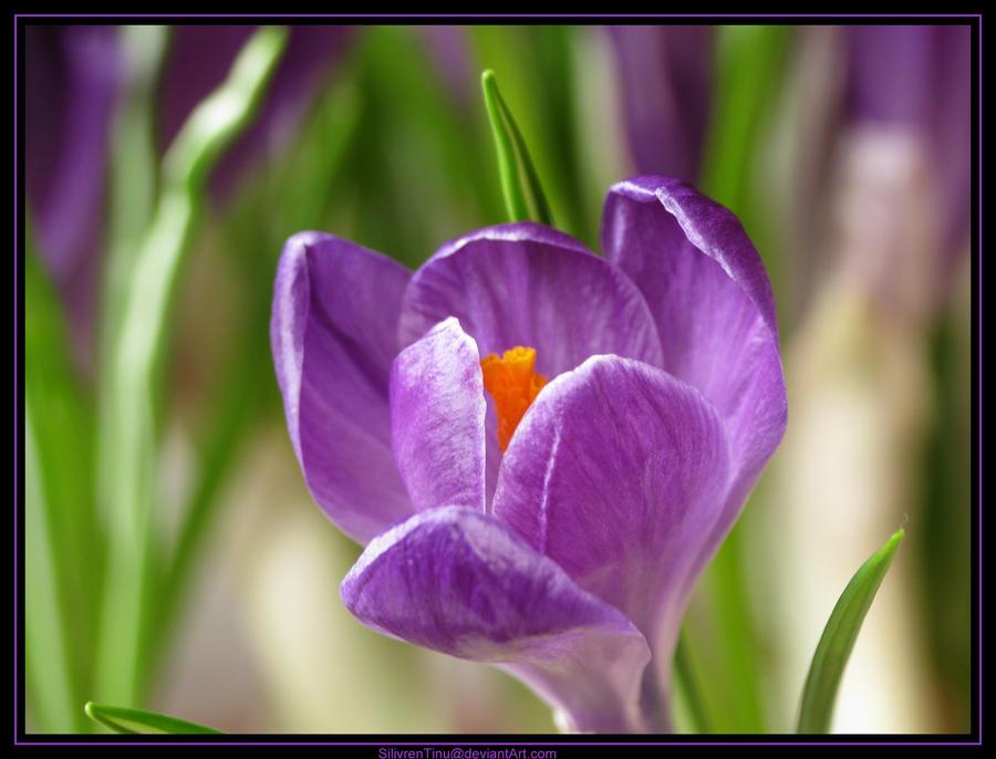 Spring Longing by SilivrenTinu