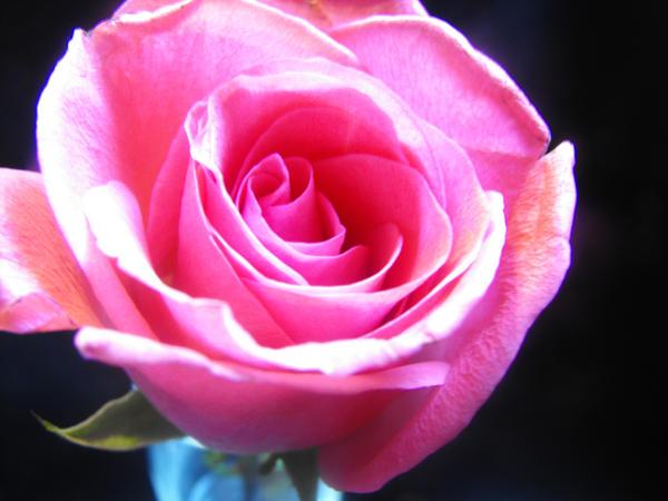 images of animated white roses - photo #22