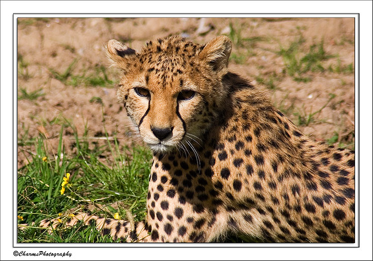 Cheetah by CharmingPhotography