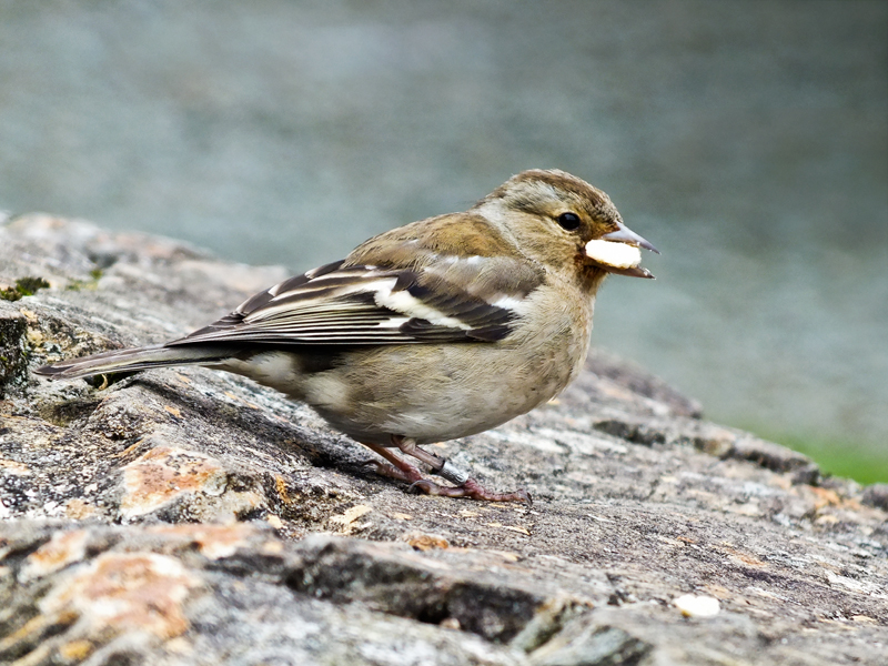 Female Chaffinch by CharmingPhotography