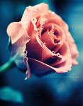 Pink rose. . ..
