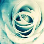 white rose . ..