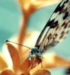 Butterfly III . ..