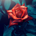 Mystery Rose. ..