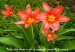 Tulips thanks