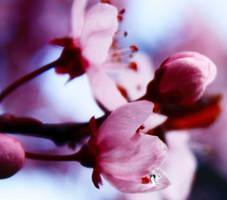 Cherry blossom three by Maewolf86