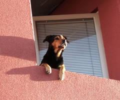 Doggie on balcony by H-L-J