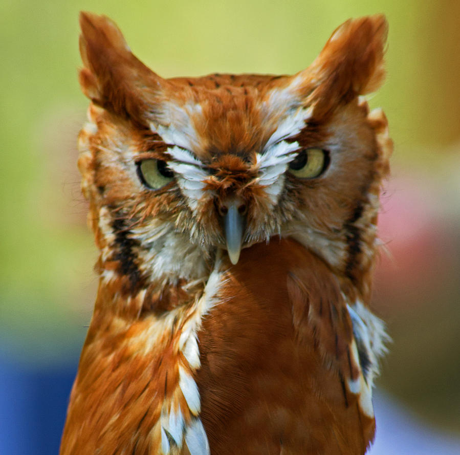 Red Owl by Menmeth69