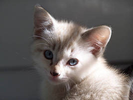 Siamese cross kitten 'Daya' by violent-obsession