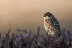 House Sparrow by c1n3kk