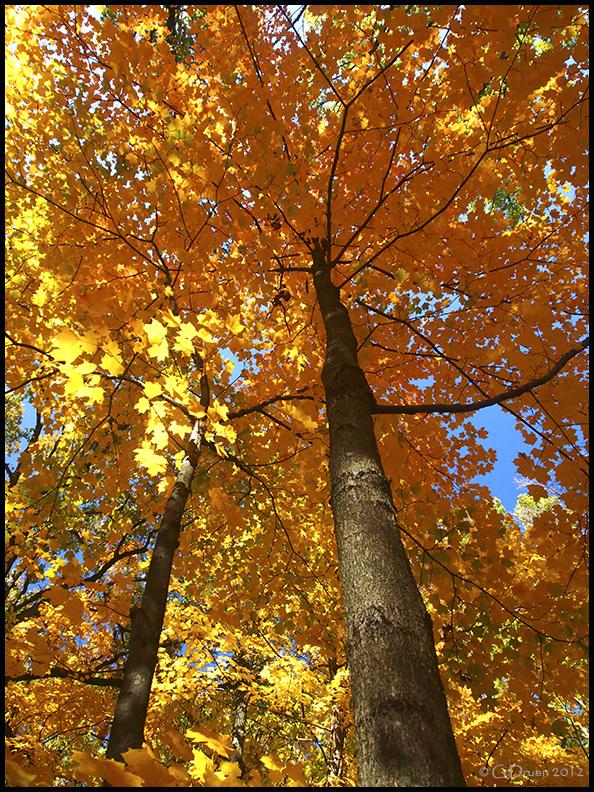 Golden Maple by bamako