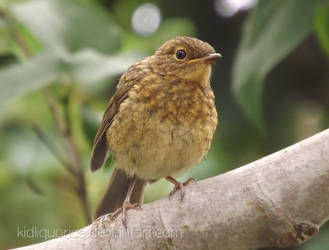 More Baby Robin by kidliquorice