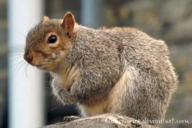 Ecureuil sans queue -- No-tail squirrel