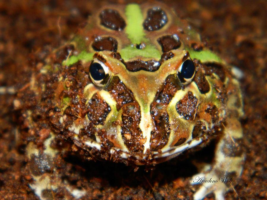 The Hypnotizing Frog by ArachnoWolf