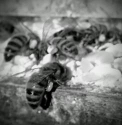 dream bees by ArachnoWolf