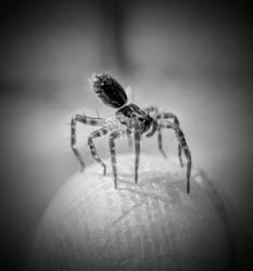 Best Spider pic in black and white. by ArachnoWolf