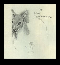 Study of Chinese Water Deer by elliegreco