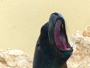 Sea lion shows its teeth