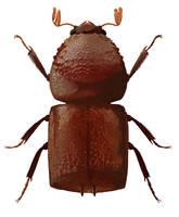 Bostrichidae specimen