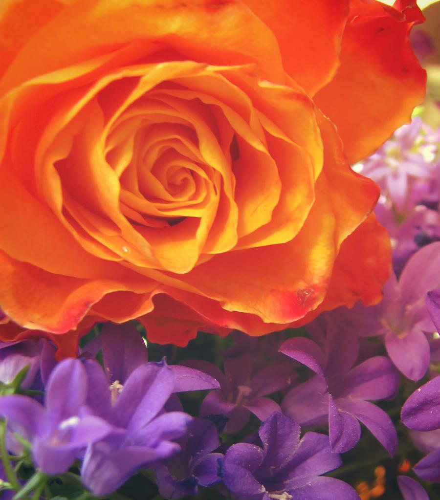 Rose on Purple by emeraldeyesx3