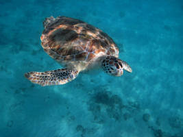 Turtle 1 by Lauren-Lee