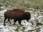 Buffalo 10