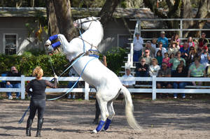 Lipizzaner Stallions 16