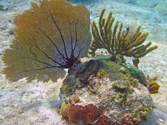 Fan Coral - Bahamas