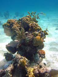 Coral Head, Bahamas