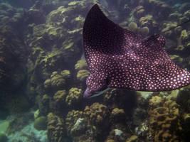 Spotted Eagle Ray, Sea Gardens, Islamorada, FL