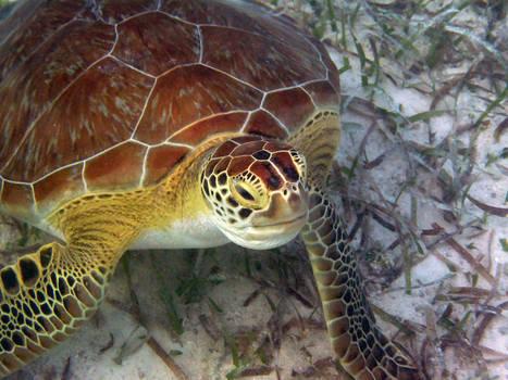 Green Turtle, Islamorada, Florida