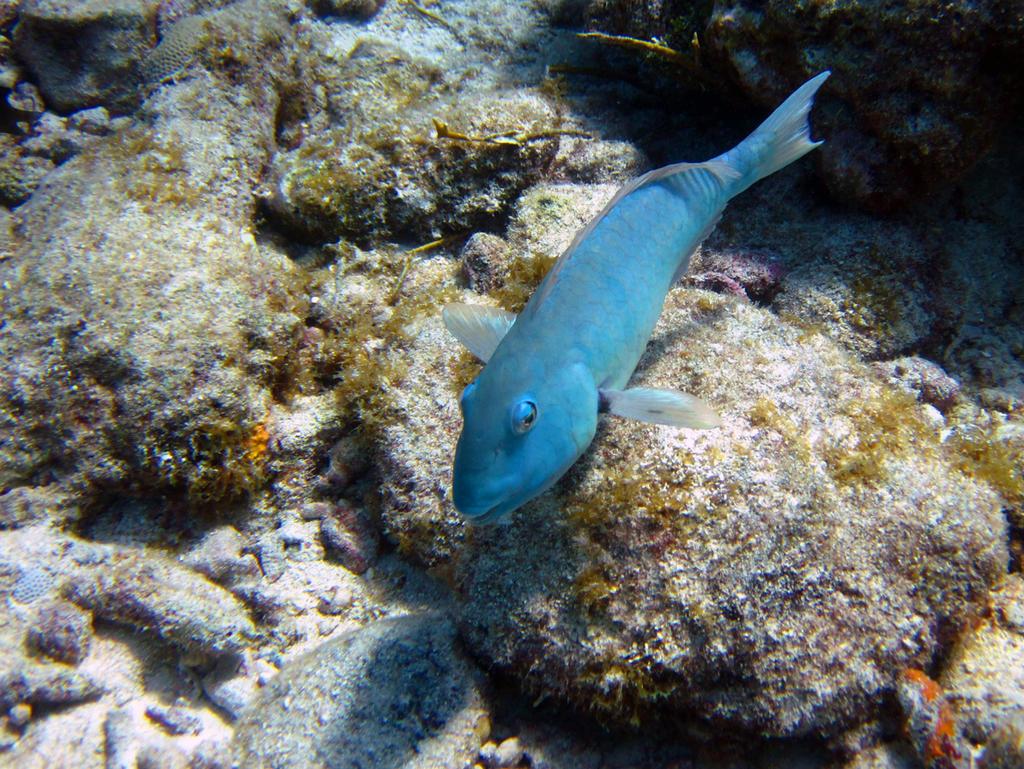 Azure Parrotfish, Molasses Reef Key Largo, Florida
