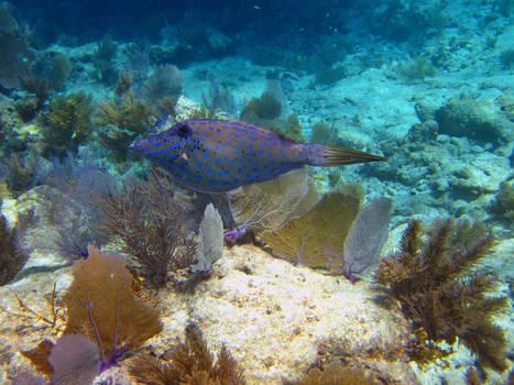 Scrawled Filefish, Molasses Reef, Key Largo, FL