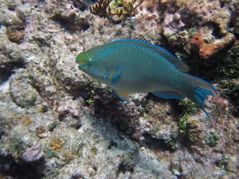 Queen Parrotfish, Cheeca Rocks, Key Largo, Florida