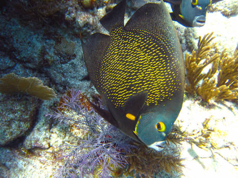 French Angelfish, Cheeca Rocks, Key Largo, Florida